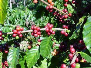 درختچه قهوه