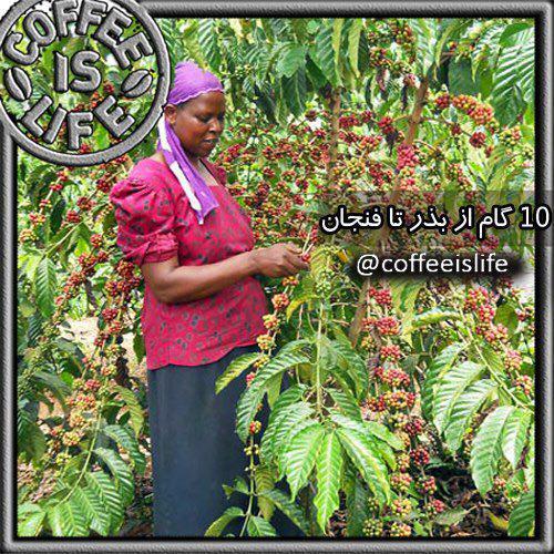 قهوه   ١٠ گام از بذر تا فنجان