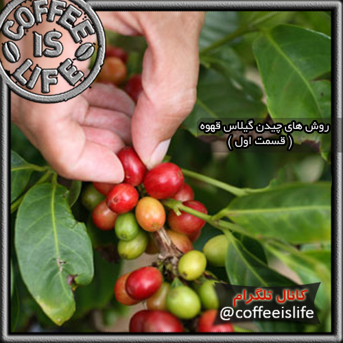 قهوه | روش های چیدن گیلاس قهوه (قسمت اول)