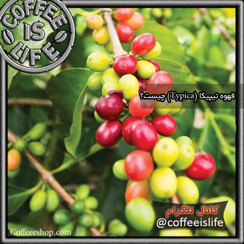 قهوه | قهوه تیپیکا (Typica) چیست؟