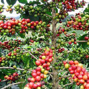 گیاه عربیکا