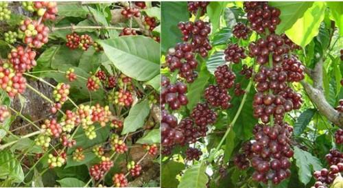 مقایسه نوع گیاه عربیکا و روبوستا