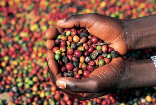 Climate and climate effects on coffee