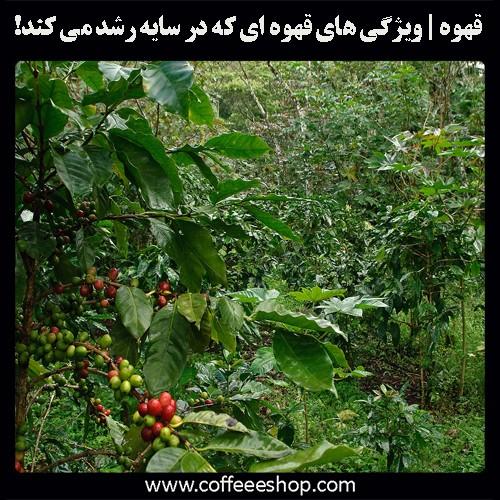 قهوه | ویژگی های قهوه ای که در سایه رشد می کند!