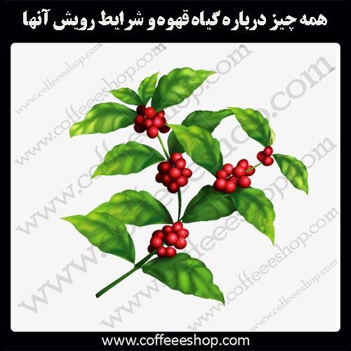 همه چیز درباره گیاه قهوه و شرایط رویش آنها: