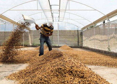 فرآوری نیمه خشک قهوه: (Semi-Dry Process)
