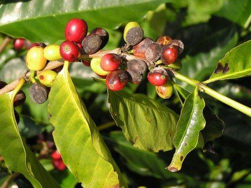 آفت ها و بیماری های معمول قهوه را بشناسیم