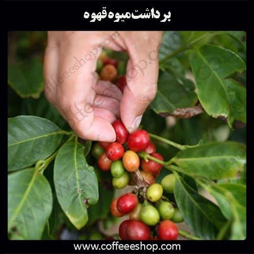 برداشت میوه قهوه