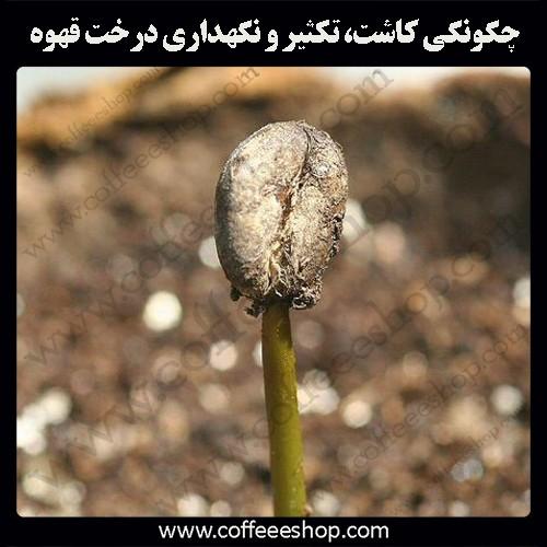 چگونگی کاشت، تکثیر و نگهداری درخت قهوه