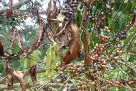 تغییرات اقلیمی کاشت قهوه را امری غیر ممکن خواهد کرد