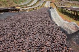فرآوری خشک قهوه: (Dry Process)